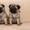 Продаю щенка породы мопс #1559042