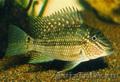 Продаю аквариумную рыбу