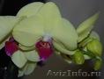 Орхидея в подарок !