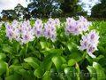Растение водоема-Эйхорния- водяной гиацинт
