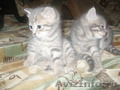 продаю двух котят британской породы